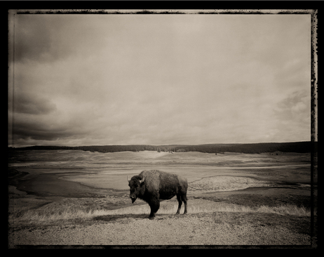 """We'd spent a week looking for a buffalo in Yellowstone when I came upon this one. I jumped out of the car and ran over. I set up the tripod. I got the cable release and he looked in the wide lens and froze. I did a one-second exposure, and once the shutter closed, he snorted and walked away. That was so much what the trip was about. So many subjects gave me such amazing gifts."""