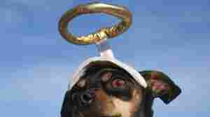 A miniature pinscher with a halo and wings.