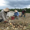 Migrant workers hand pick Vidalia onions in Georgia. The vegetable is too delicate to be harvested with machines.