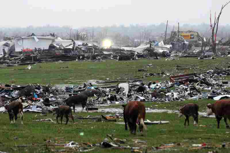 Displaced cattle walk through debris in eastern Joplin, Mo. Tuesday, May 24, 2011. A large tornado moved through much of the city Sunday, damaging a hospital and hundreds of homes and businesses.