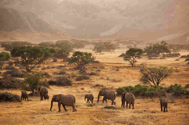 Desert-dwelling elephants follow the contours of the ancient Huab River Valley, wending through the timeless landscapes of the Torra Conservancy, one of some 60 such areas overseen by local communities.