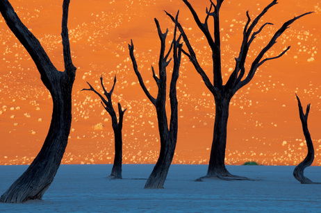 Tinted orange by the morning sun, a soaring dune is the backdrop for the hulks of camel thorn trees in Namib-Naukluft Park.