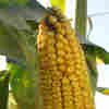 Who's Afraid Of Ethanol? The 2012 Race Will Tell