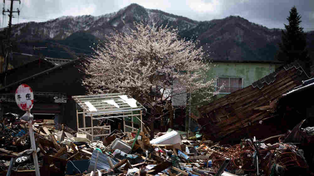 Cherry blossoms bloom amid tsunami devastation in Kamaishi city, Iwate prefecture, Japan, on April 20.