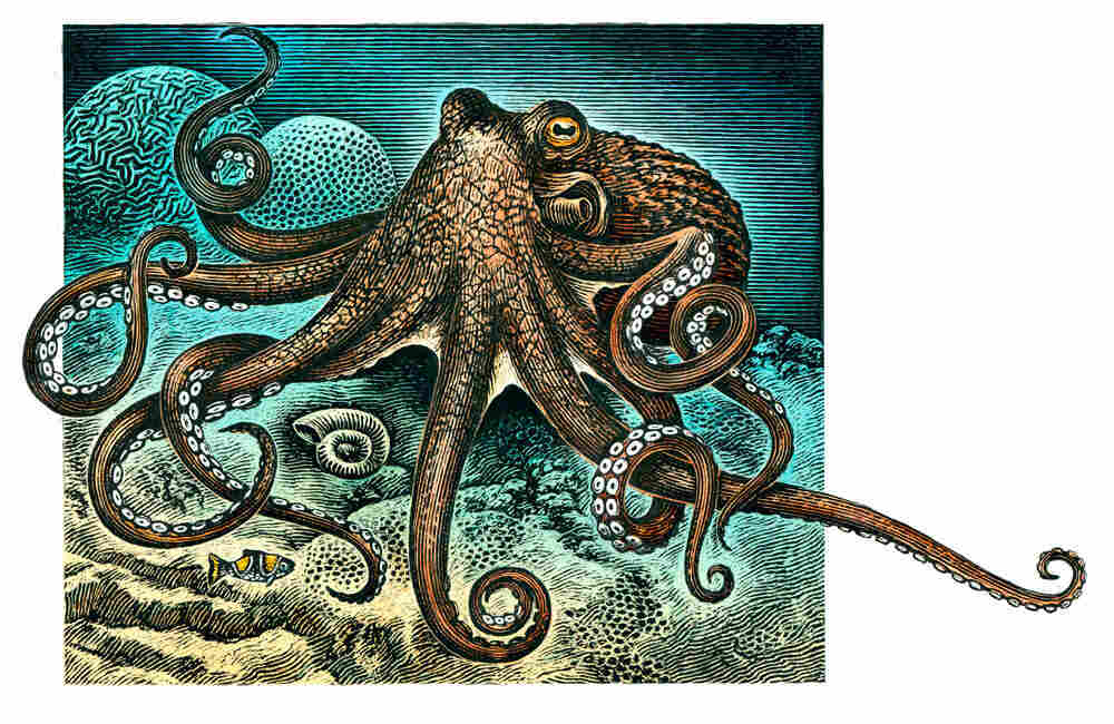 An Illustration of a giant Pacific Octopus.