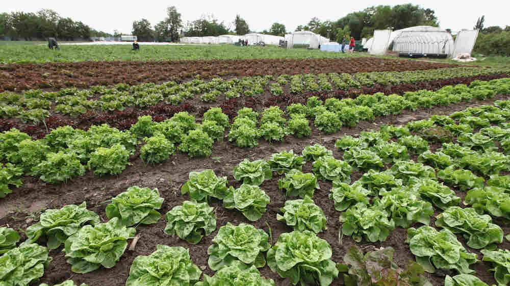 Lettuce at an organic vegetable farm in Teltow,