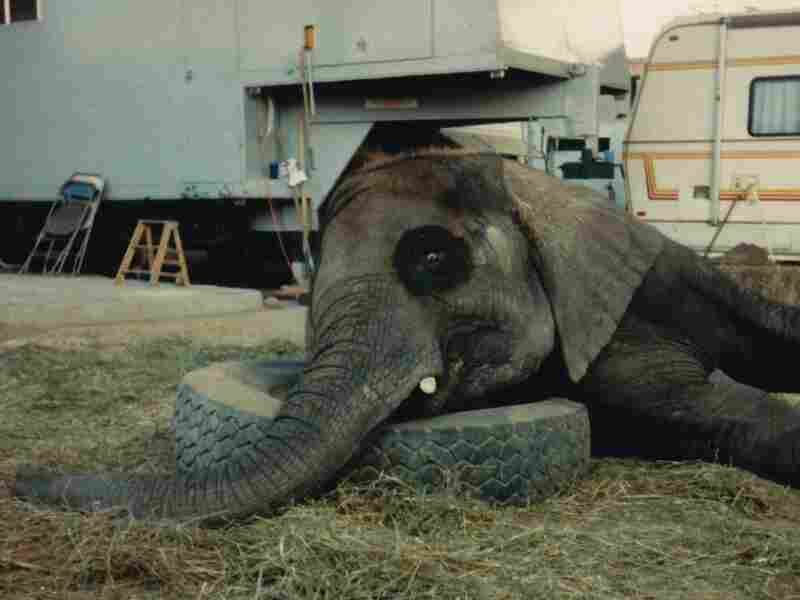 Downtime: Flora's restlessness — circus employees think of her as a moody teenager — leads one animal expert to theorize that she may suffer from post-traumatic stress syndrome.
