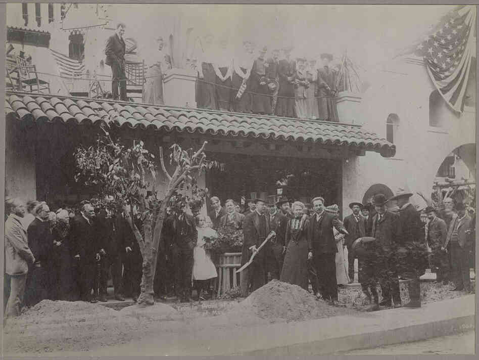 Theodore Roosevelt replants a Bahia orange tree in 1903 in Riverside, Calif.  The tree, one of two sent to the U.S. from Brazil, helped give birth to California's orange industry.