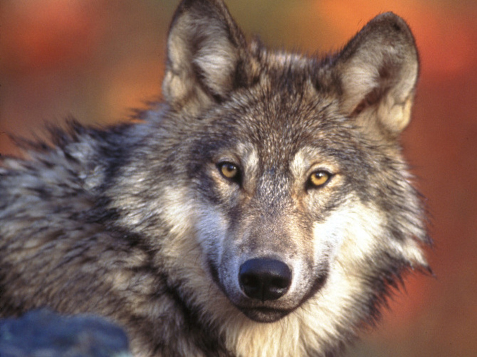 The gray wolf has been a controversial entry on the endangered species  list. Former Interior Secretary Bruce Babbitt criticized a deal with Congress that kicked them off the list altogether.