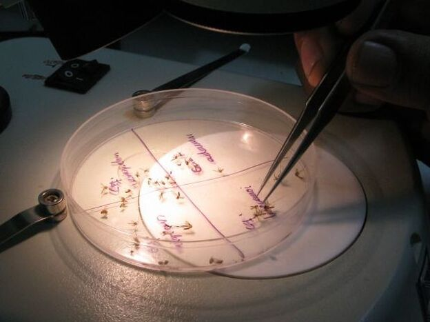 Back at the lab, a researcher sorts mosquitoes by species. They were collected as part of the daily mosquito census.