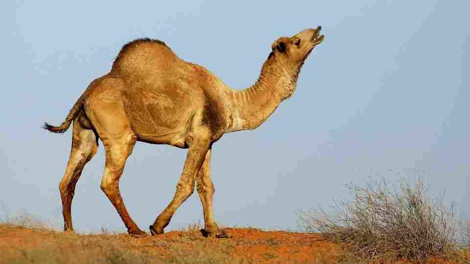 A wild camel in Australia's Simpson Desert (October 2007 file photo).