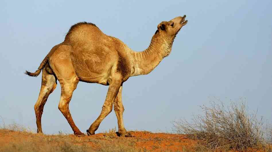 A wild camel in Australia's Simpson Desert (October 2007 file photo).