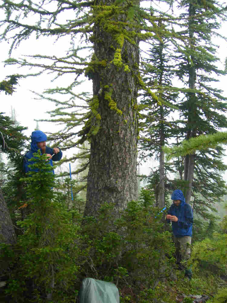 Researchers sample an ancient subalpine larch tree near Boulder Pass in Glacier National Park in Montana.
