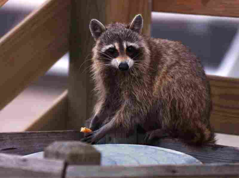Raccoons thrive in cities, partly because there's plenty of food.