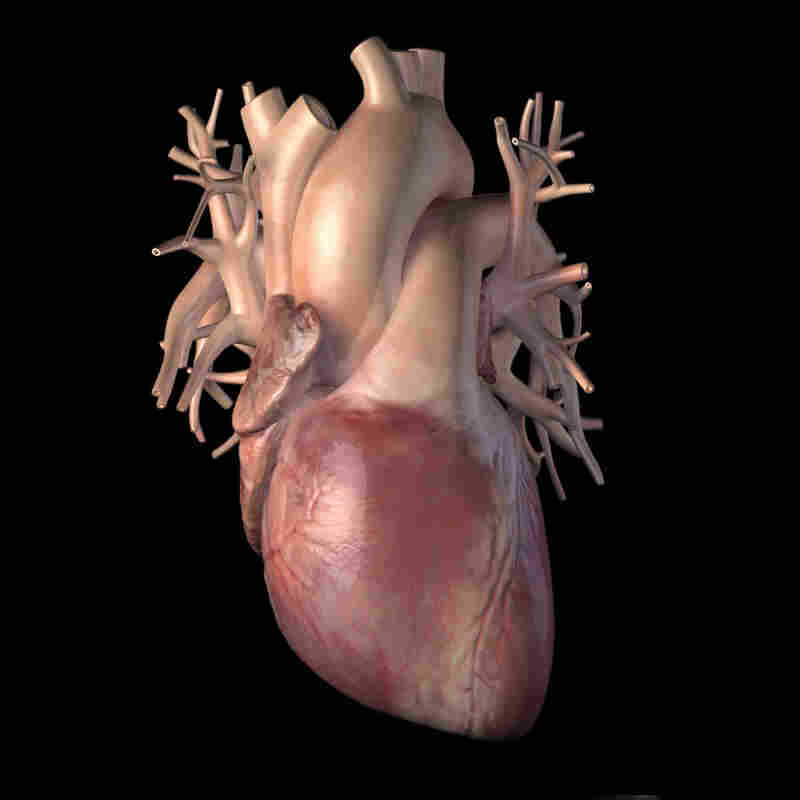 By juicing up special cardiac stem cells, researchers hope to find a way for human hearts to heal when they're injured by a heart attack.