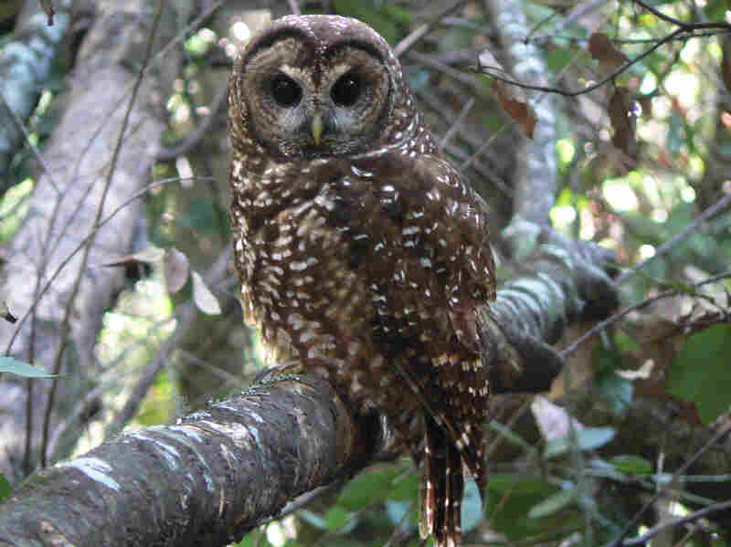 A female northern spotted owl in California. Spotted owls are losing habitat to invasive barred owls, a species originally from the eastern U.S.