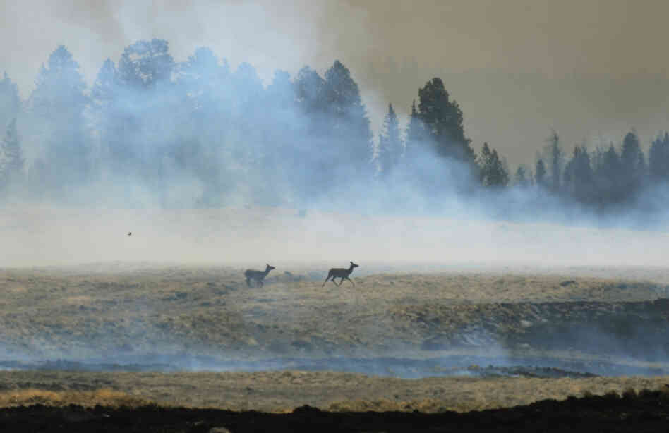 A couple of elk escape the wildfire in the forest around the Lee Valley Recreational area in the Apache National Forest during back burn operations as the Wallow Fire continues to burn June 12, 2011 in Big Lake, Arizona.