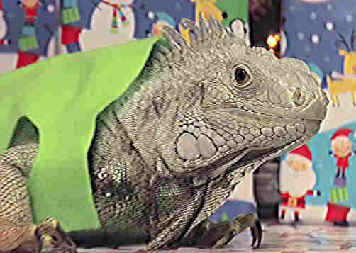 An iguana poses as Theodore from Alvin and the Chipmunks in the 17th episode of Everything, Channel 101's longest running prime-time show.
