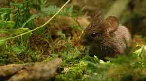 Mighty Mouse? Male Alston's mice use high-frequency songs to entice females.