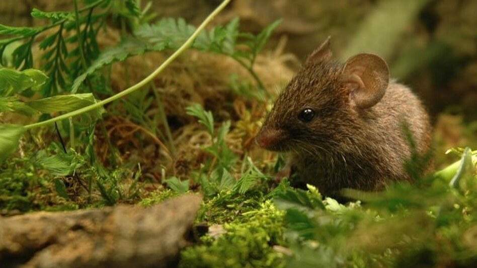 <strong>Mighty Mouse?</strong> Male Alston's mice use high-frequency songs to entice females.