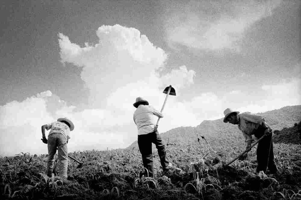 In the hills above town, farmers till a newly sprouted cornfield near San Miguel Cuevas, Mexico.