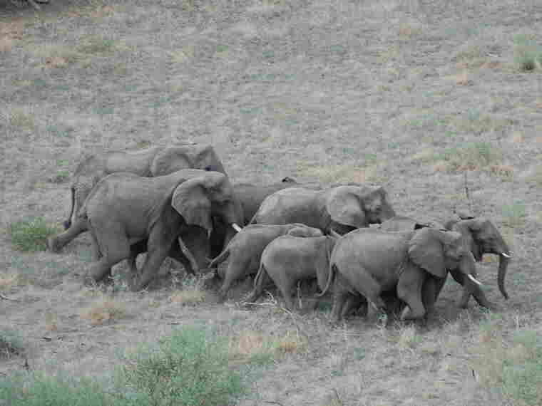 A herd of elephants crosses the bush in South Sudan, which will become the world's newest nation in July. South Sudan relies economically on oil but hopes to someday attract  tourists to visit its wildlife.
