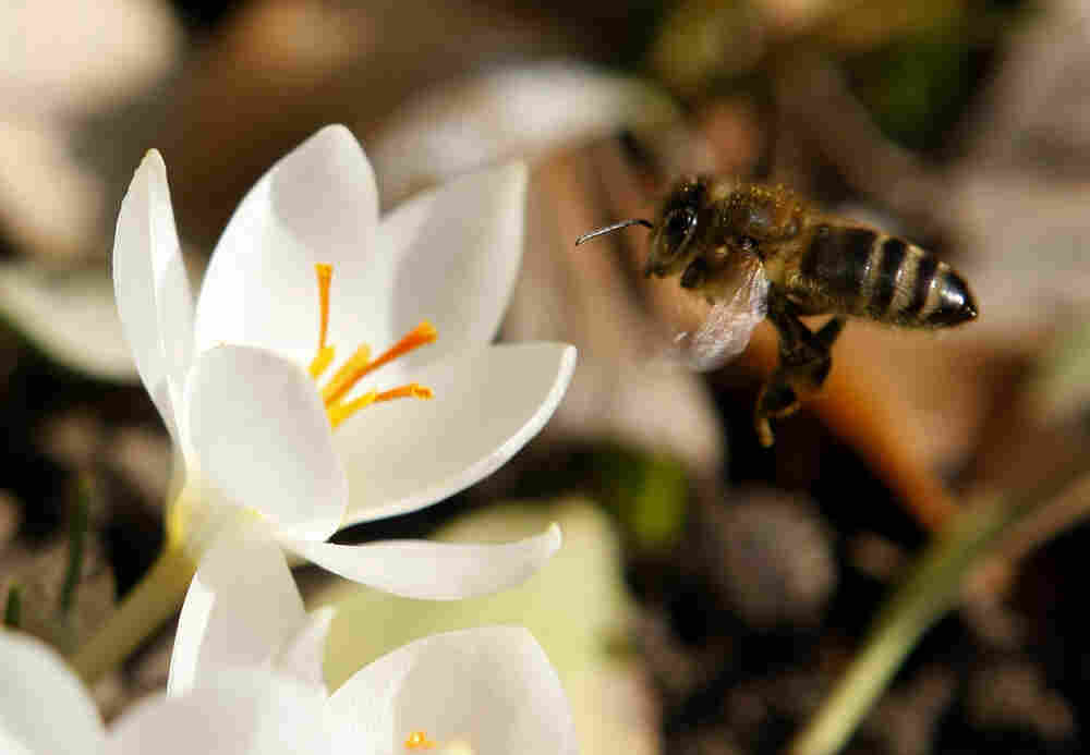 A honeybee approaches a crocus in Ludwigsburg, Germany.