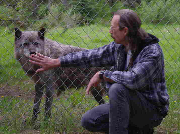 Randy Stewart greets a gray wolf through the chain-link fence at the Wolf Education and Research Center in Winchester, Idaho. Stewart says attitudes toward the species have sharpened in recent years.
