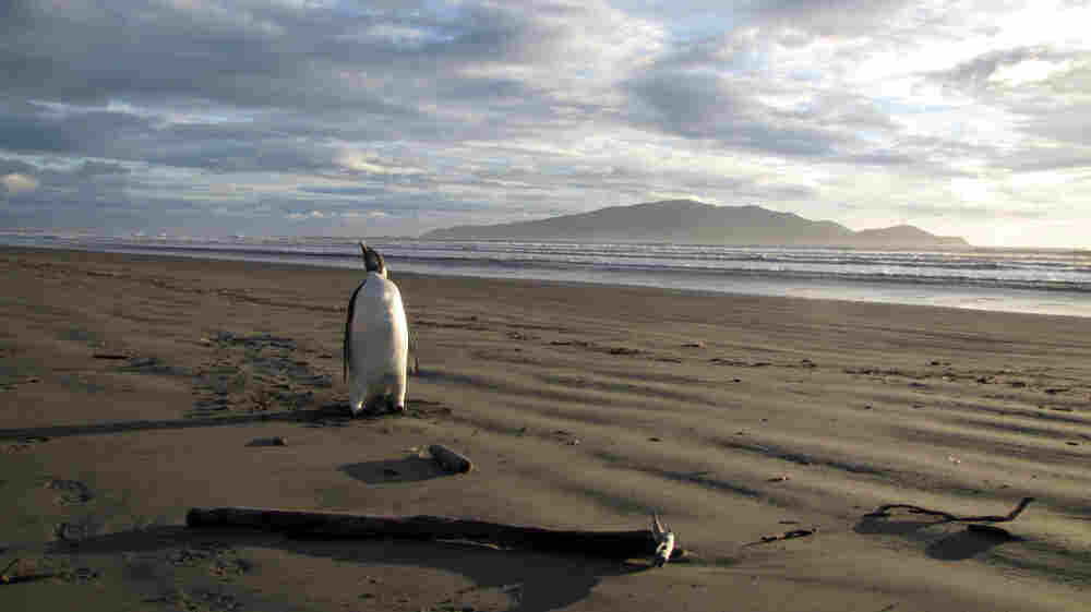 An Emperor penguin walks along Peka Peka Beach in New Zealand after it got lost while hunting for food.  The young Antarctic Emperor penguin took a rare wrong turn and ended up stranded.
