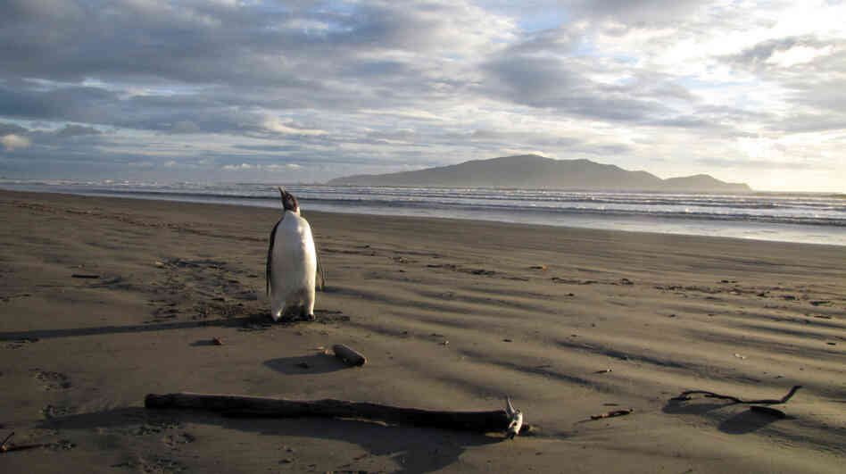 An Emperor penguin walks along Peka Peka Beach in New Zealand after it got lost w