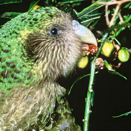 The kakapo, an enormous flightless parrot from New Zealand, was once one of that country's most populous species, but vulnerability to invasive species has decimated its population.
