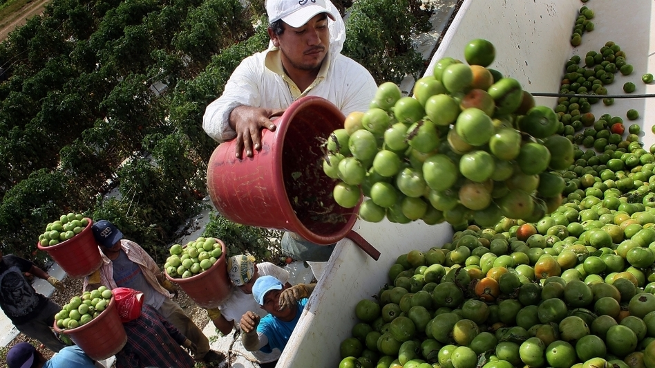 Florida workers harvest what they can from the DiMare Farms tomato fields, a month after the January 2010 freeze that caused a statewide crop shortage. (Getty Images)