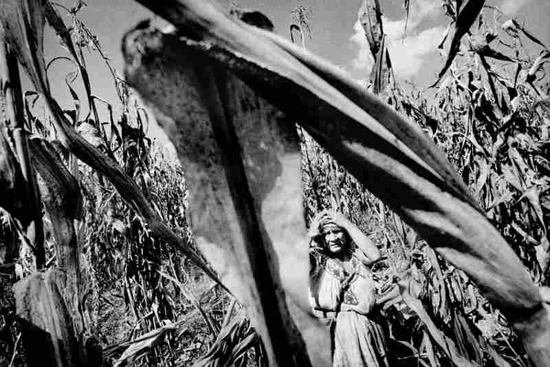 A woman harvests corn in her family's drought-stunted field.
