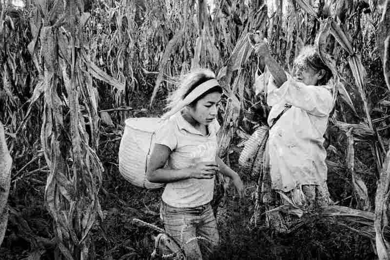 A girl harvests corn with her grandmother.