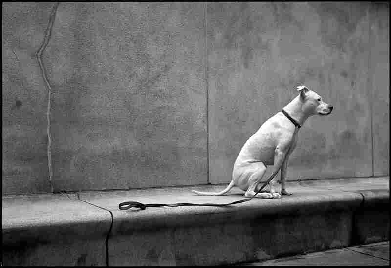 """""""She claims that she's an Argentine Dogo (aka Dogo Argentino),"""" Ezra writes. """"I think she's a little small for that, and that she's probably just a leggy pit bull. She's smart as a whip, and very sweet."""""""