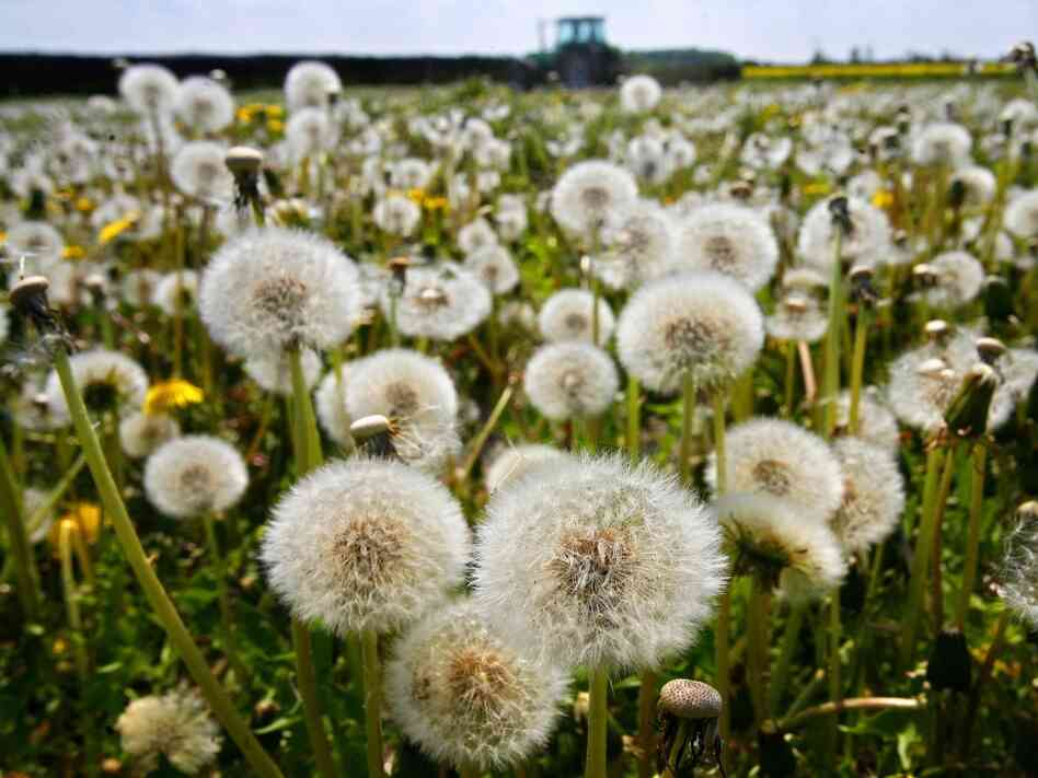 Nature writer Richard Mabey says dandelions — along with many other weeds — were inadvertently brought to America by European farmers.