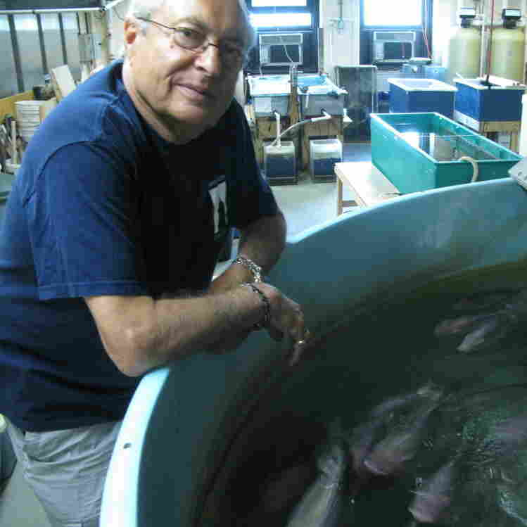 Martin Schreibman with a few of his tilapia friends in his Brooklyn  lab.
