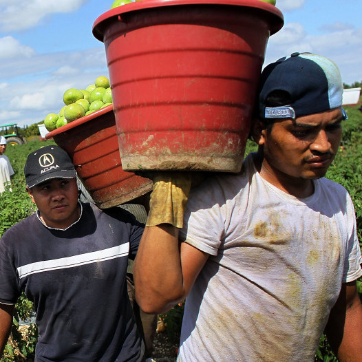 Workers in Homestead, Fla., carry buckets of tomatoes to a drop off point. The Sunshine State produces one-third of all fresh tomatoes in the U.S.