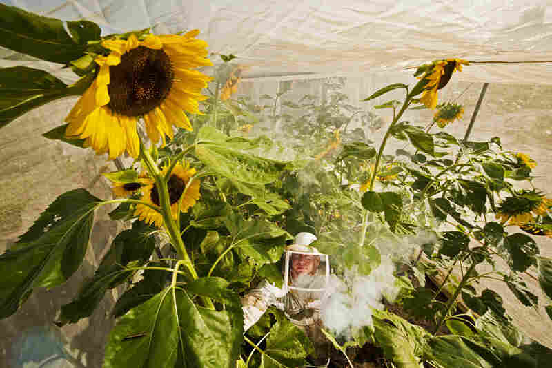 A beekeeper sprays smoke to calm the bees so he can inspect the pollinators' work amid a crop of sunflowers at the seed bank in Ames, Iowa.