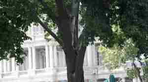 Drastic Cutting At The White House: Crews Remove Damaged Tree