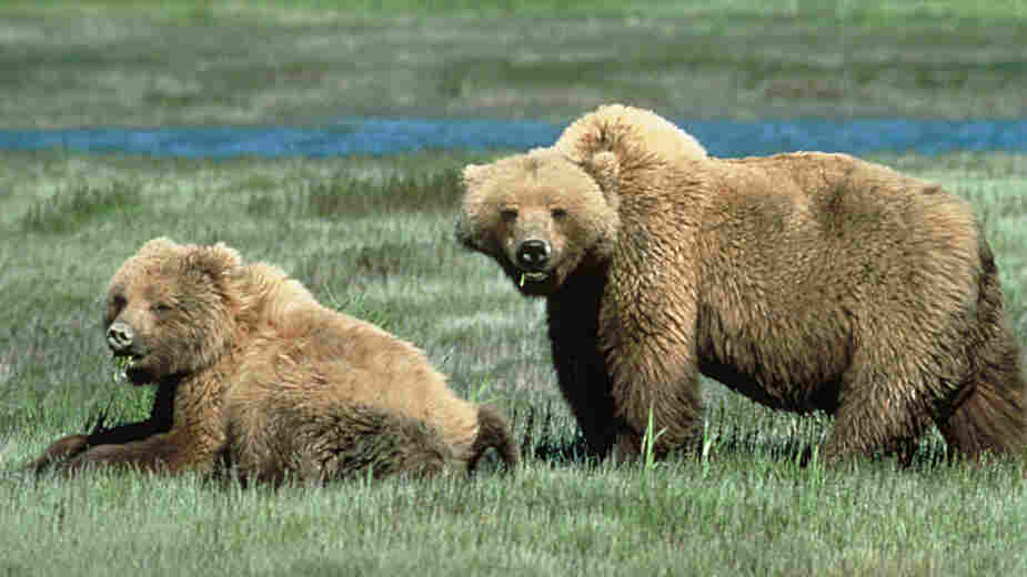 File photo of two Grizzly bears.