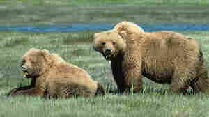 Man Killed By Yellowstone Grizzly Reportedly Told Wife To Run