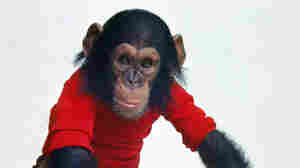 'Project Nim': Monkeying Around With A Chimp