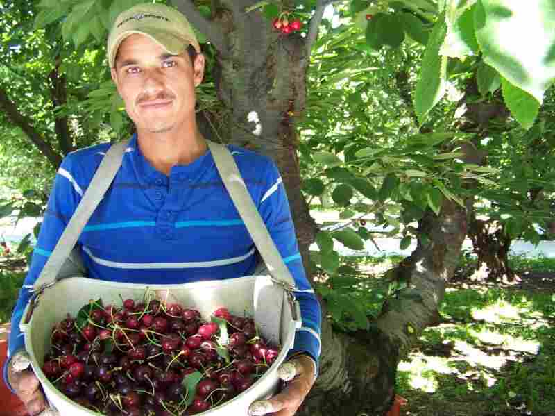 Francisco Suares, 32, of Michoacan, Mexico, harvests ripe bing cherries at Broetje Orchards near Prescott, Wash. Although he has only two fingers on his right hand, he's still a quick picker.