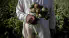 Poppy Crops Set To Bloom If Afghanistan Aid Withers