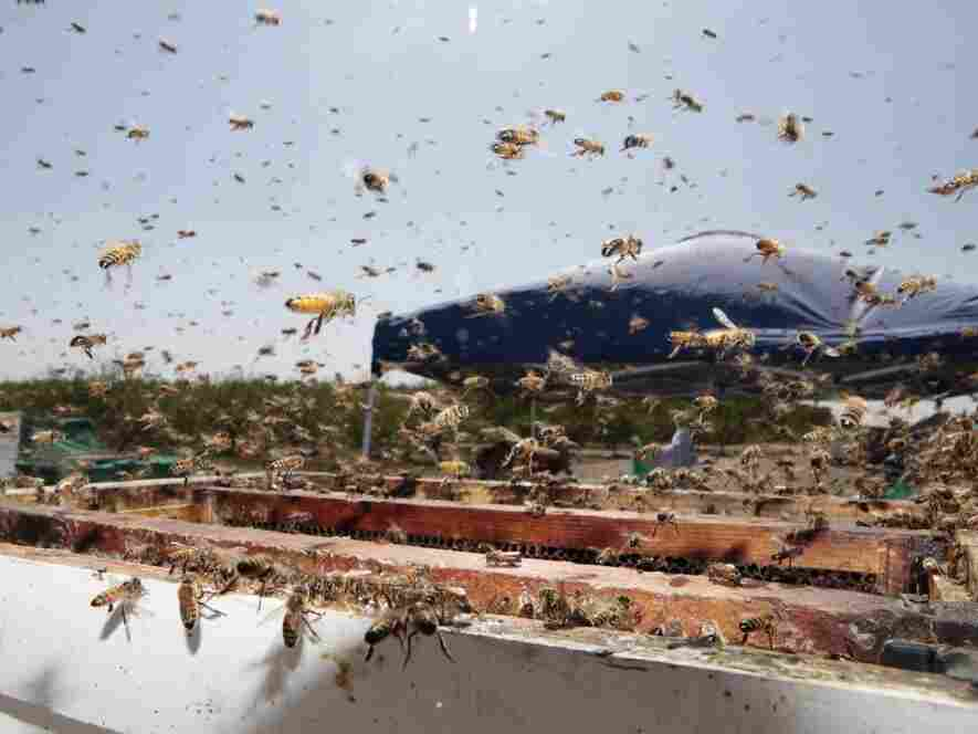 A file photo shows bees buzzing around a hive at a California farm. In Idaho late Sunday, a truck crashed and released its large shipment of bees and honey on the highway.