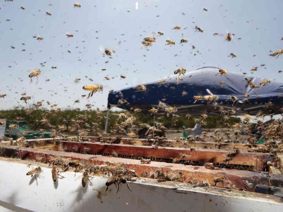 A file photo shows bees buzzing around a hive at a California farm. In Idaho late Sunday, a truck crashed and released its large shipment of bees