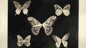 Thomas Gaffield (1825-1900) investigated the patterns on the wings of the butterflies (notice the bodies are missing). He was well aware that various chemical compositions in manufactured glass caused changed color overtime and suggested certain kinds of glass for the skylights in photography studios.