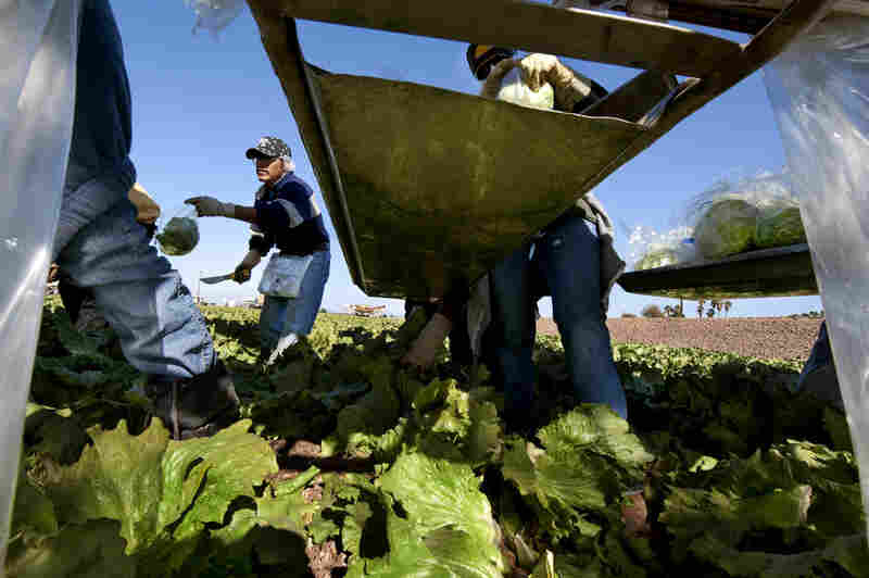 On Cocopah Indian-leased fields in Somerton, Ariz., workers pick, bag and box the crop that ships directly from the field to the market. This frost-free Colorado River-irrigated region spans 75 miles, and from November to December, all of the U.S. relies on Arizona and California farms for lettuce.