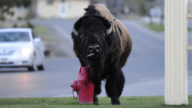 A wild bison rubs against a fire hydrant to help remove molting fur outside the Mammoth Hot Springs Hotel in Yellowstone National Park.